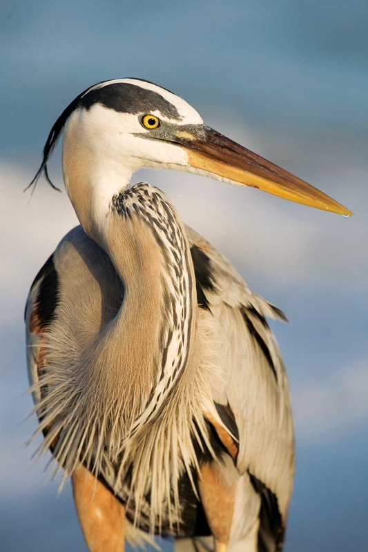 Great Blue Heron - Michigan Photography Tours - West Michigan Nature Tours - Wildlife Trips - MI