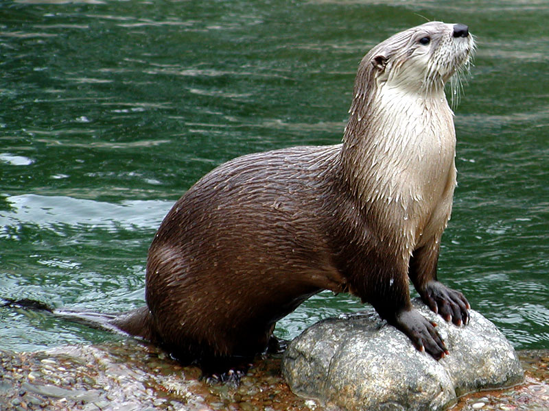 Michigan River Otter - West Michigan Eco Tours - Photography Trips and Tours - MI