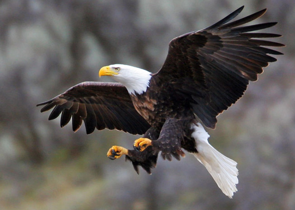 Michigan Bald Eagle - Wildlife Nature Tours - Scenic Nature Tours - Muskegon River Eco Trips - MI