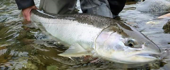 Michigan Steelhead Fishing _ Muskegon River Steelhead _ MI